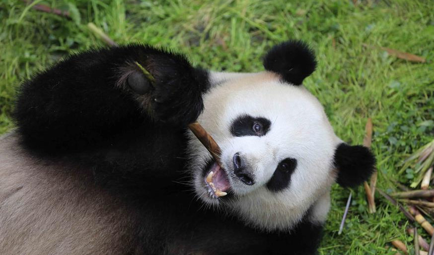 "In pics: Giant pandas ""Meng Meng"", ""Jiao Qing"" leave for Germany"